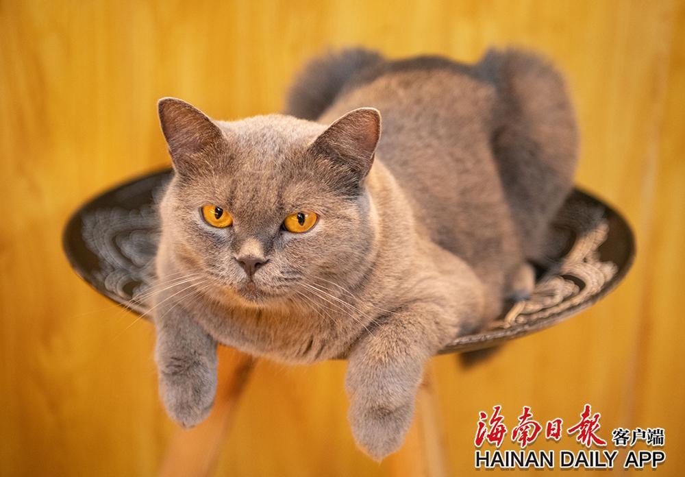 """琼海:""""猫咖""""里与猫共度悠闲时光"""